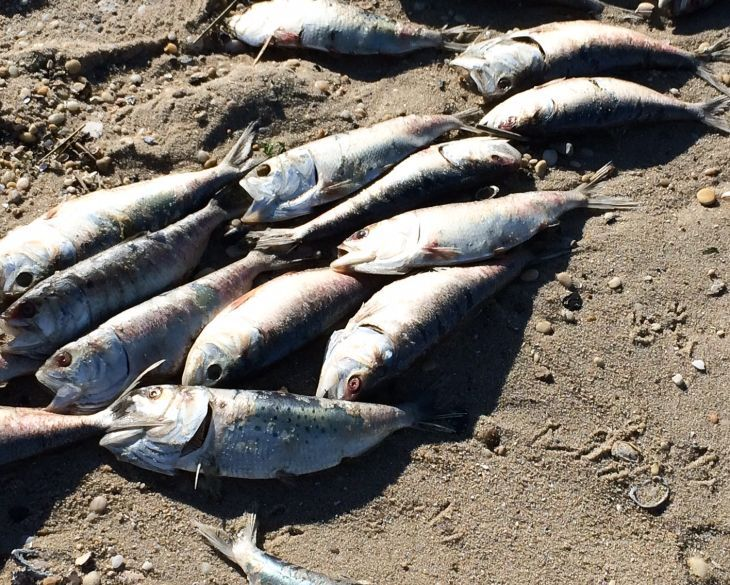 Fish washing up in lower township believed to be from for Bunker up fishing