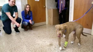 Tuckerton couple saves pit bull found in road with gunshot to face