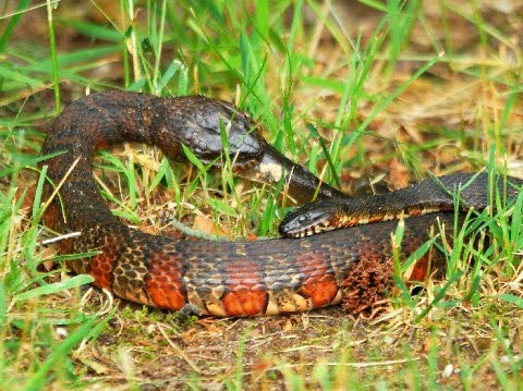 Science and Nature: Galloway Township man photographs snakes mating, then fighting, then eating each other