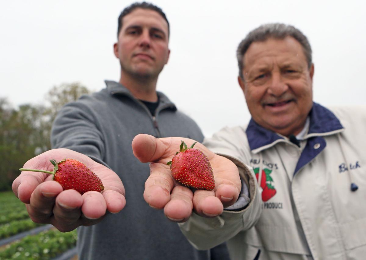 Strawberry Crop