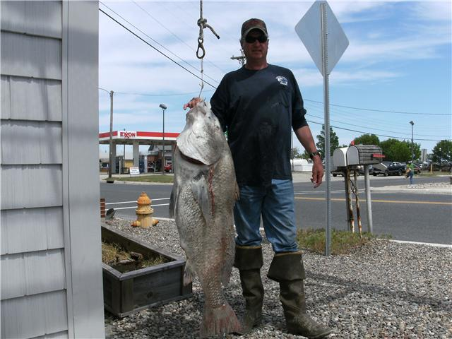 Daily shep on fishing report black drumfish starting to for Cape may fishing report