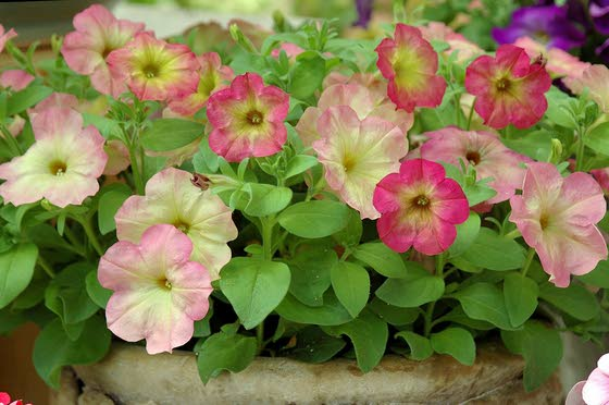 Thinking of spring garden? Then consider these petunias