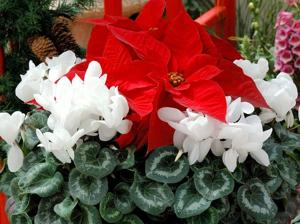 Don't forget about cyclamen when it comes to holidays