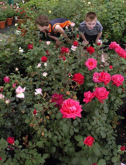 Green Thumbs: Now's the time to prune rose bush to improve it's appearance and health