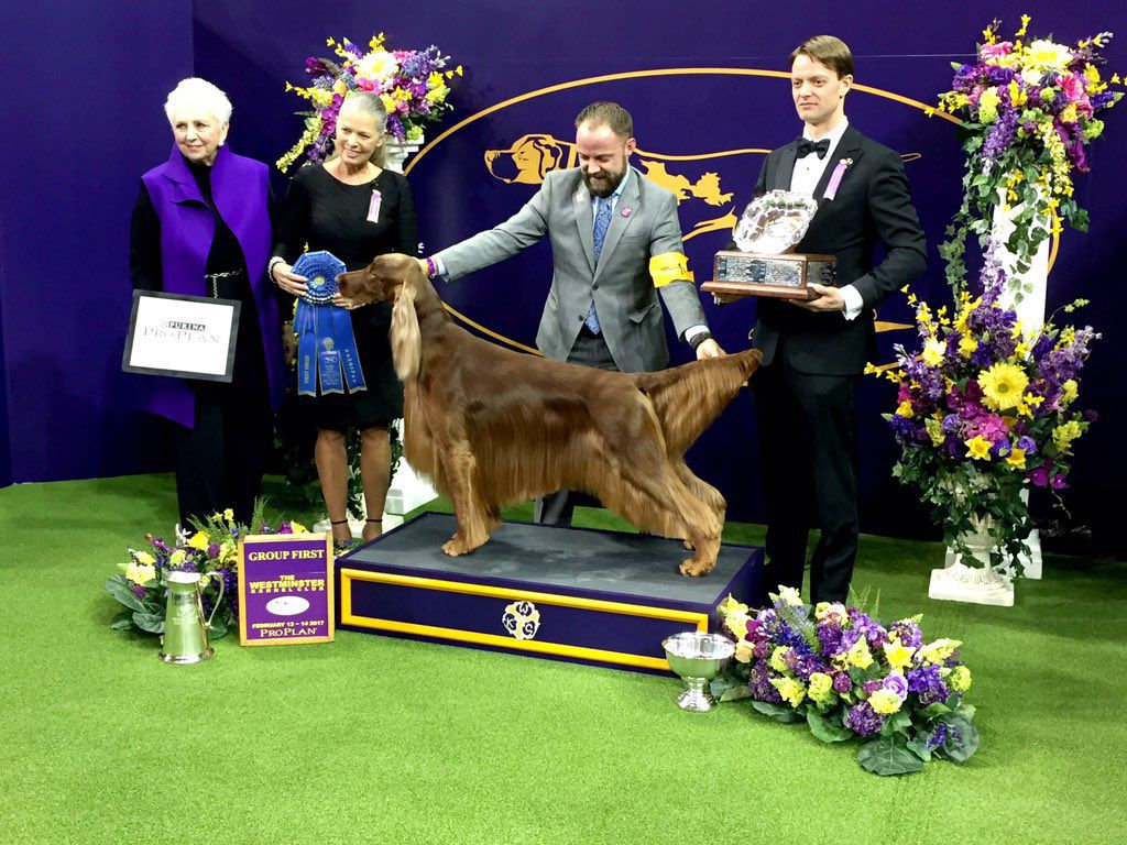 Westminster Dog Show  Tv Irish Setter