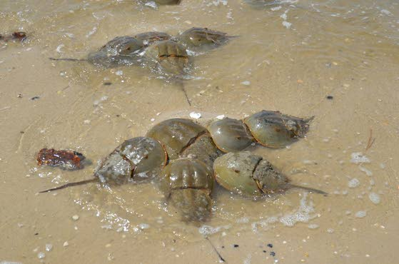 Wetlands Institute to celebrate its first Spring Shorebird, Horseshoe Crab fest