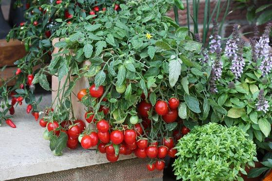 Plan carefully now for bumper tomato crop this summer