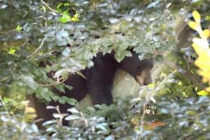 Vineland Bear