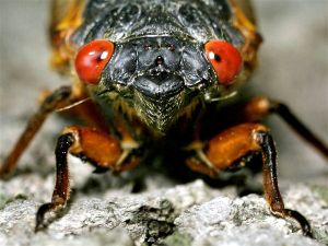 Cicada1: Noisy cicadas are set to emerge from the soil in the next few weeks.