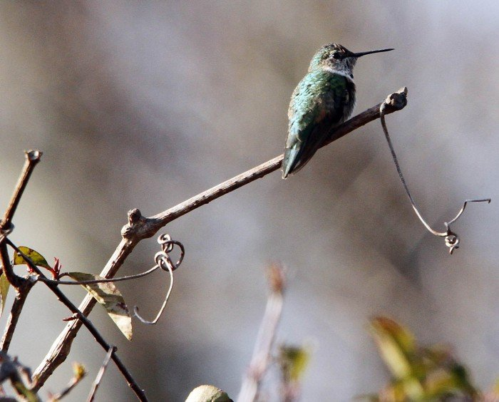 Broad-tailed Hummingbird101828227.jpg