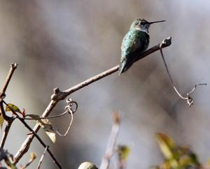 Broad-tailed Hummingbird101828227.jpg