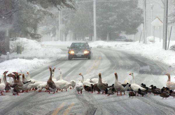 thurs ducks