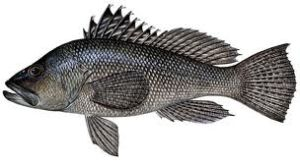 black sea bass icon