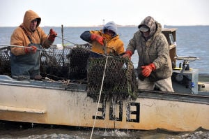 """GHOSTPOT: Crabbers aboard the """"Miss Ginny""""; John Reese, left, Bob Dinkelacker, and Phil Andersen, all of Galloway Township, recover a ghost pot in Great Bay, Wednesday Mar. 13, 2013. A NOAA grant fund the recovery of unused crab pots that litter the bay. (The Press of Atlantic City/Staff Photo by Michael Ein)  - Michael Ein"""