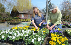 Atlantic Nursery: Employees Barbara Landay, of Mays Landing, (left) and Jan Tarpine, of Atlantic City, prune flowers.  - Ben Fogletto