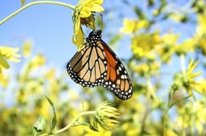 Monarch Migration4979897.jpg