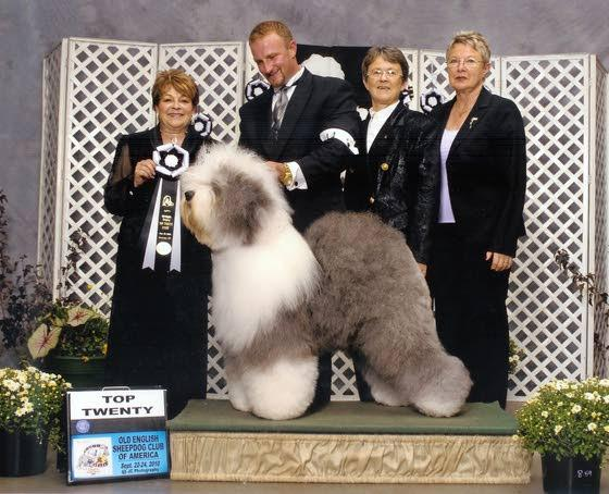 Pocket dogs making old English sheepdogs rare