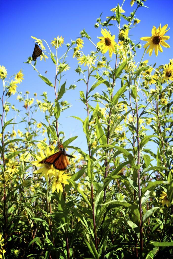 Monarch Migration4979893.jpg