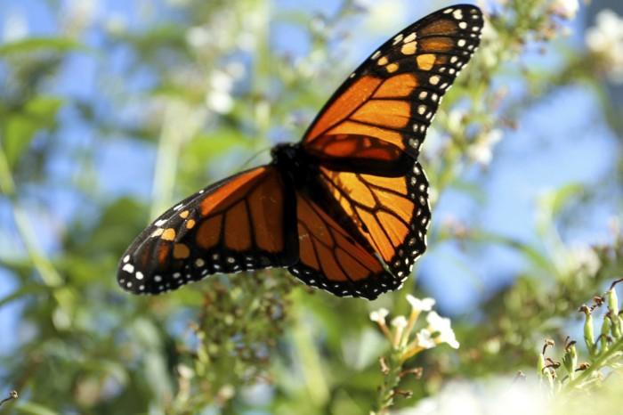 Monarch Migration4979896.jpg