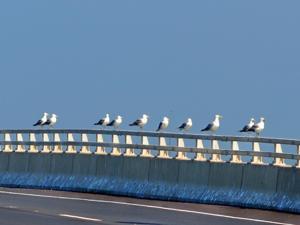 z-12Aug9-Gull1.jpg