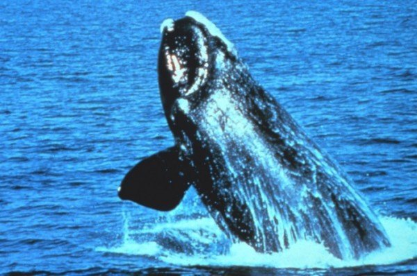 Right whale. Photograph courtesy of NOAA.