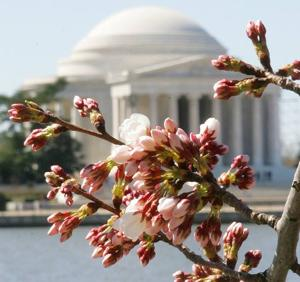 Late-blooming cherry blossoms, Hawaii no tax escape, Car-safety app and more travel news