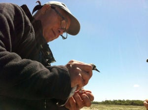 Knots: Wildlife biologist Larry Niles holds a red knot at Reeds Beach. 'We were looking at beaches that had been the backbone of the New Jersey shorebird stopover, and they were basically wiped out by Sandy,' Niles says. June 2013 - Sarah Watson