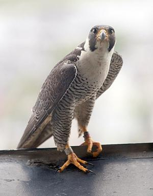 Atlantic Club Falcons