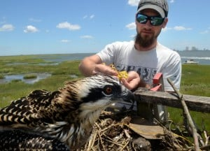 Osprey banding