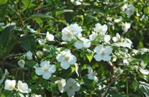 English dogwood is a stellar choice for spring planting