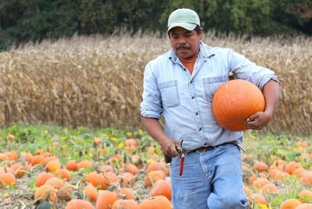 Pumpkin harvest 2012