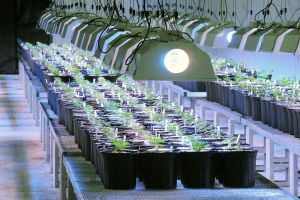 MEDICAL MARIJUANA: Seedlings were recently transplanted at the Compassionate Care Foundation marijuana grow facility in Egg Harbor Township. - Michael Ein