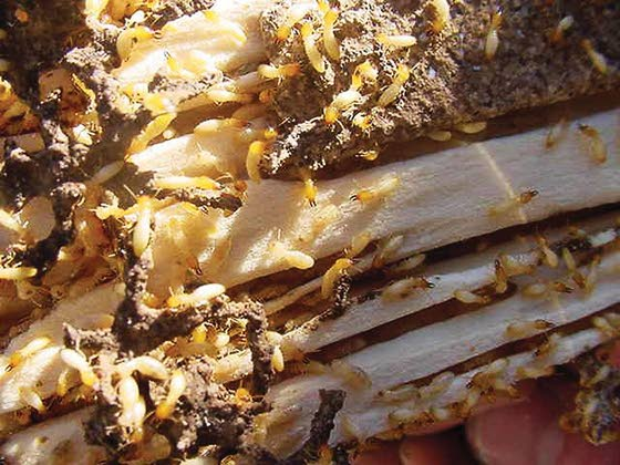Green Thumbs: Dealing with termites requires a call to a professional