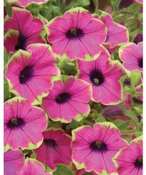 New 2010 petunias deserve a second glance