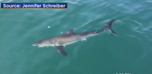 WATCH: Locals catch a view of a great white shark off of Margate