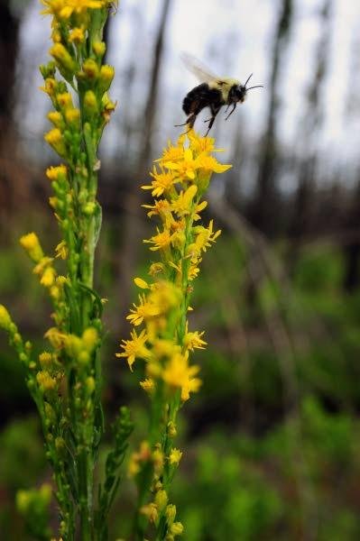 Rare flowers return to the Pine Barrens