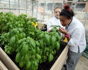 GREEN EDUCATION: Somer Gegeckas, 19, of Mount Royal, left and Akeema Telemaque, 21 of Willingboro, foreground, work in the greenhouse at Atlantic Cape Community College. - Edward Lea