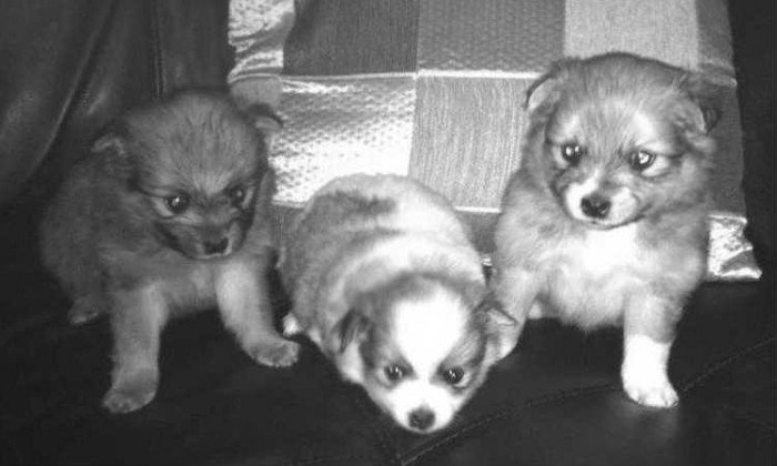 Beautiful Full Bred Pomeranian puppies for sale w/ shots and