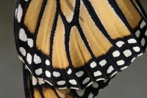 Butterflies take over show at Harbor Gallery in Cape May
