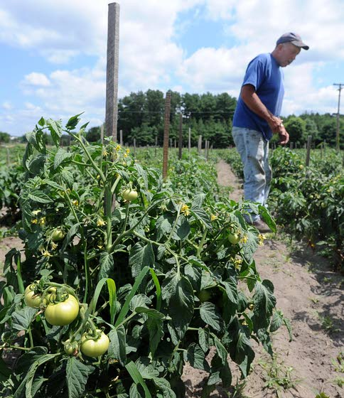 Cage, stake or trellis give tomatoes much-needed support