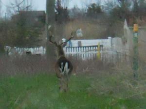 Ventnor-Margate deer