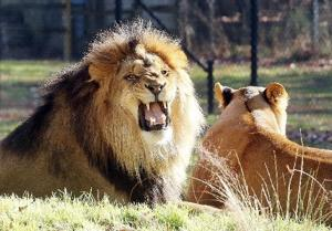 Zoo Lions