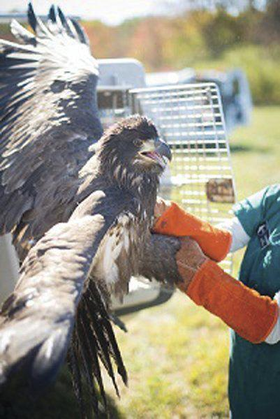 Injured bald eagle treated, released in Vermont   Outdoors   pressrepublican.com