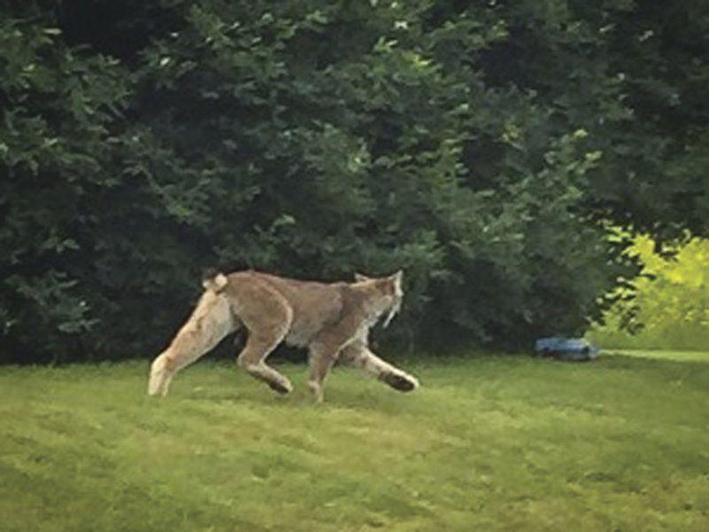 Lynx spotted in southern Vermont   Outdoors   pressrepublican.com