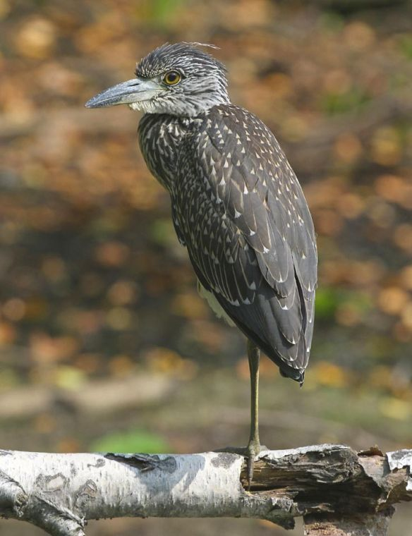 Yellow-crowned night heron nesting in Lindenwood 1
