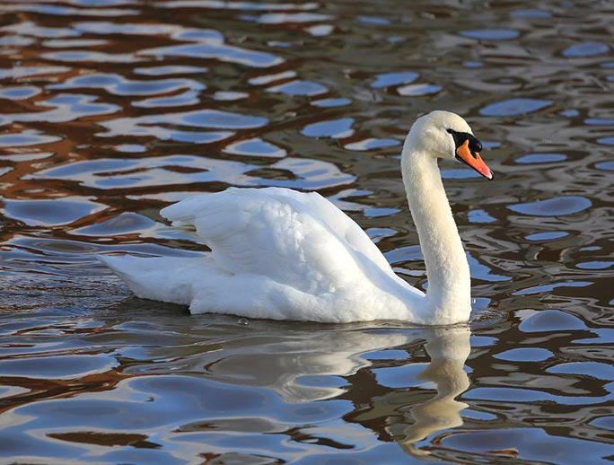 NYS DEC rethinking swan-slaying plan