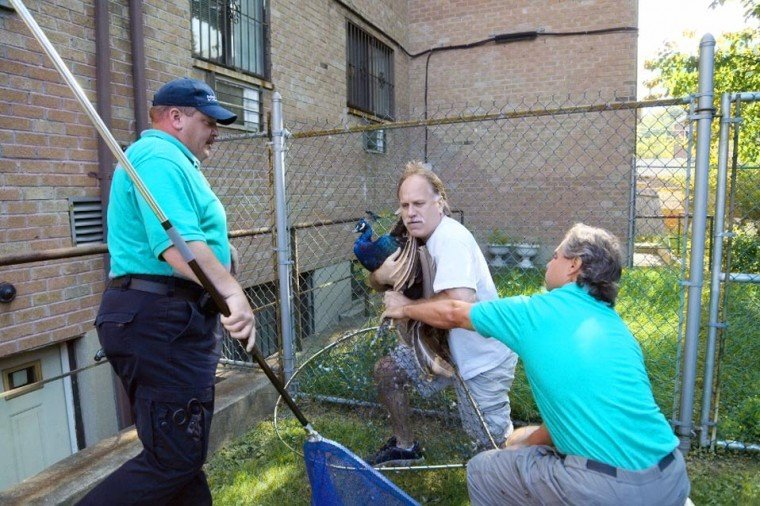 Peacock on the run is returned to Bowne 1