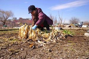 New York's cold winter delays any early plantings in Queens 1