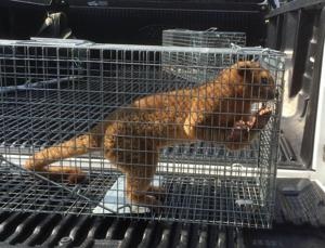 Kinkajou caught in Broad Channel