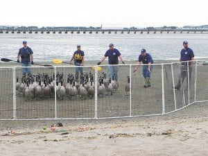 Feds remove geese from Jamaica Bay  1